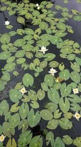 ヒツジグサ Nymphaea tetragona