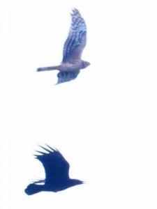 ハイイロチュウヒ Circus cyaneus ハシボソガラス Corvus corone