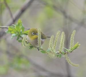 メジロ Zosterops japonicas